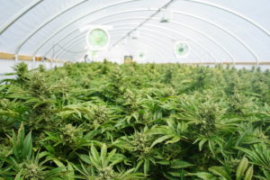 Colorado Hopes to Make Cannabis Eco-Friendly By Recycling Breweries' Carbon Dioxide.