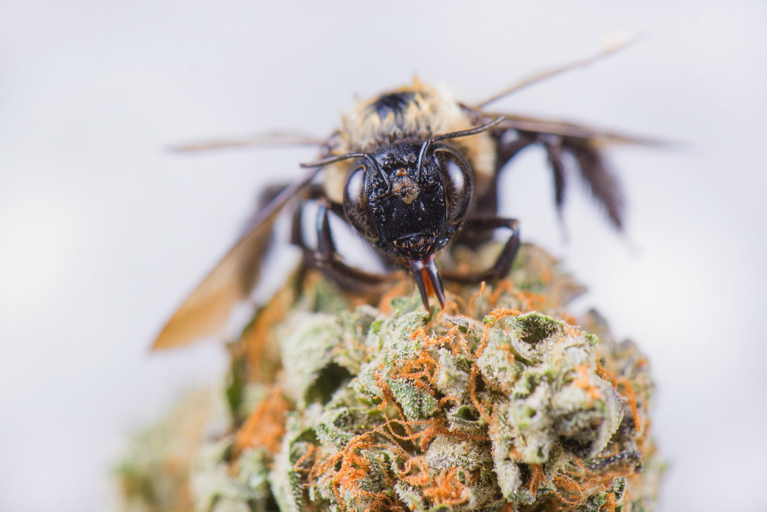 Expert Beekeeper Says Hemp Plants Can't Save Bees, But Pot Farmers Can Still Help.