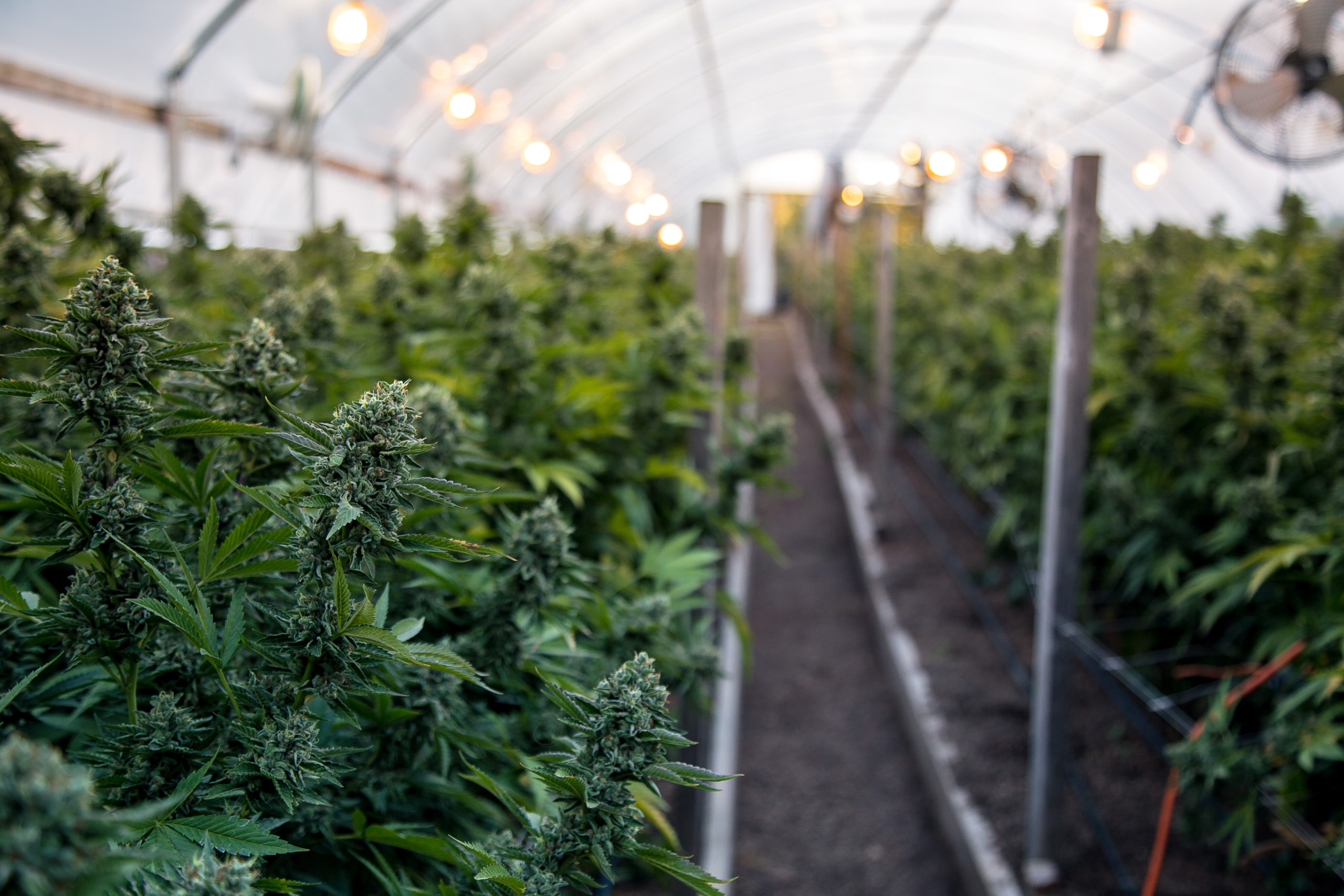 """The Boom is Over"": Colorado Cannabis Growers Hope Volatile Wholesale Market is Stabilizing."