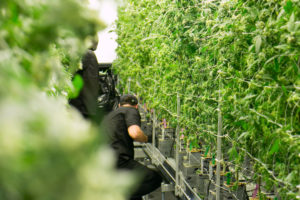 Michigan is on Track to Recover 7,000 Weed Industry Jobs.
