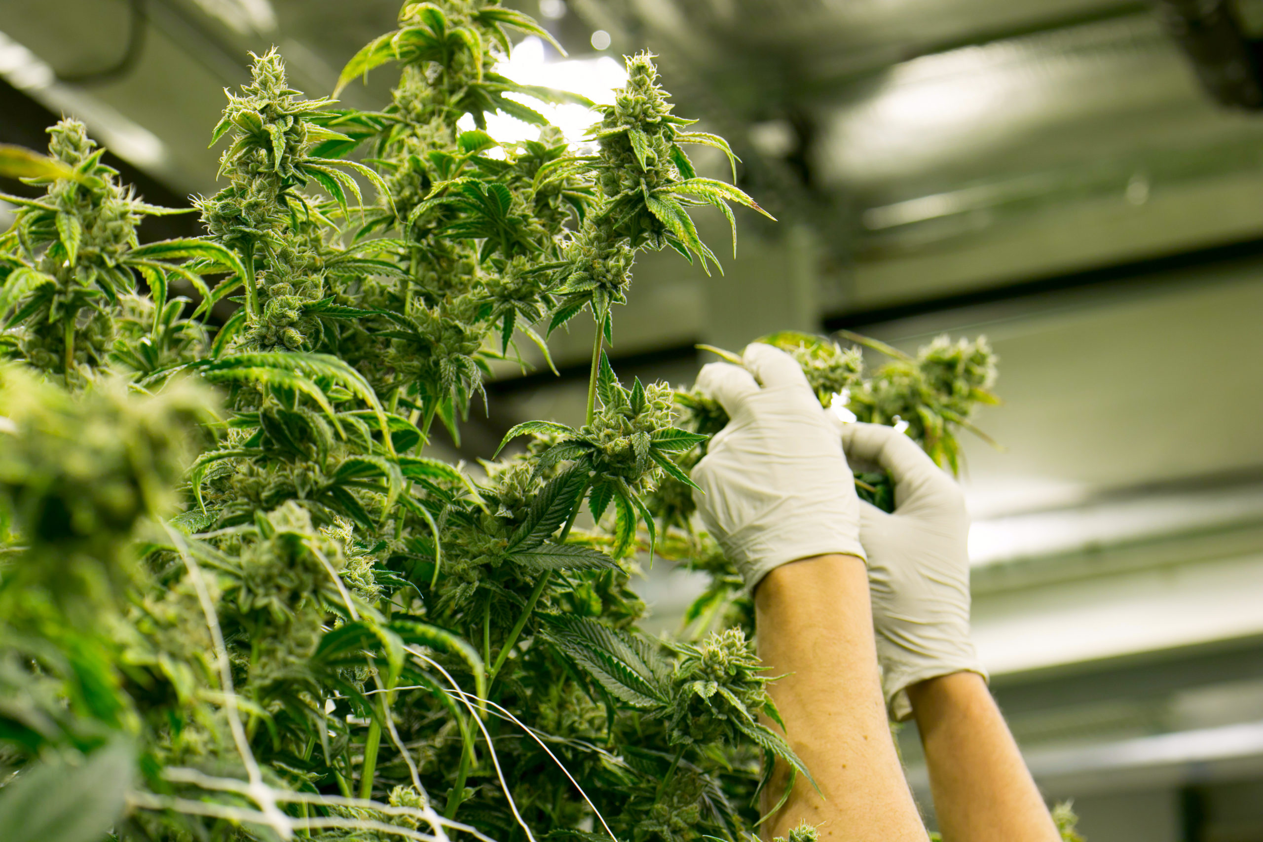 New Cannabis Compound Could Get You 30 Times Higher Than THC.