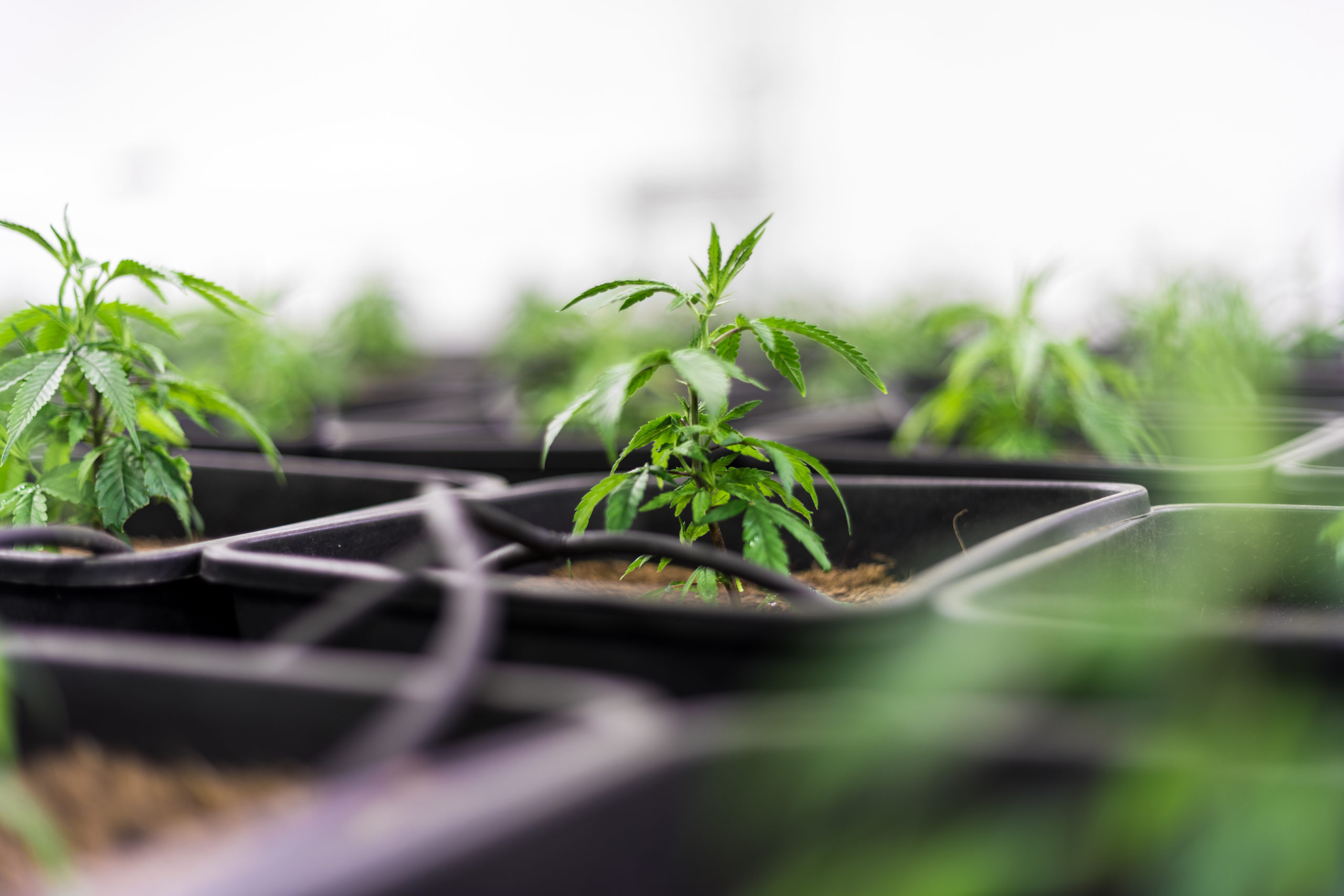 What MedMen's Exit From Arizona Marijuana Market Means for Legalization in 2020.