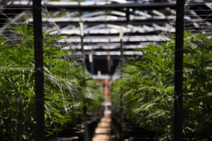 Will Low-THC Products Be The Next Big Trend For The Cannabis Industry?