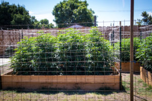 How to Grow Marijuana in Michigan and Illinois.