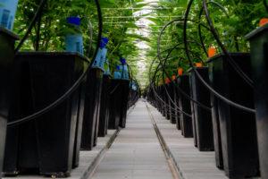 Marijuana Legalization Wars Kick Off This Week in Albany.