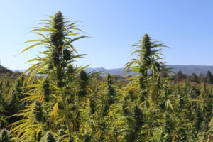 Oregon Grew a Record 5.7 Million Pounds of Weed in 2019.
