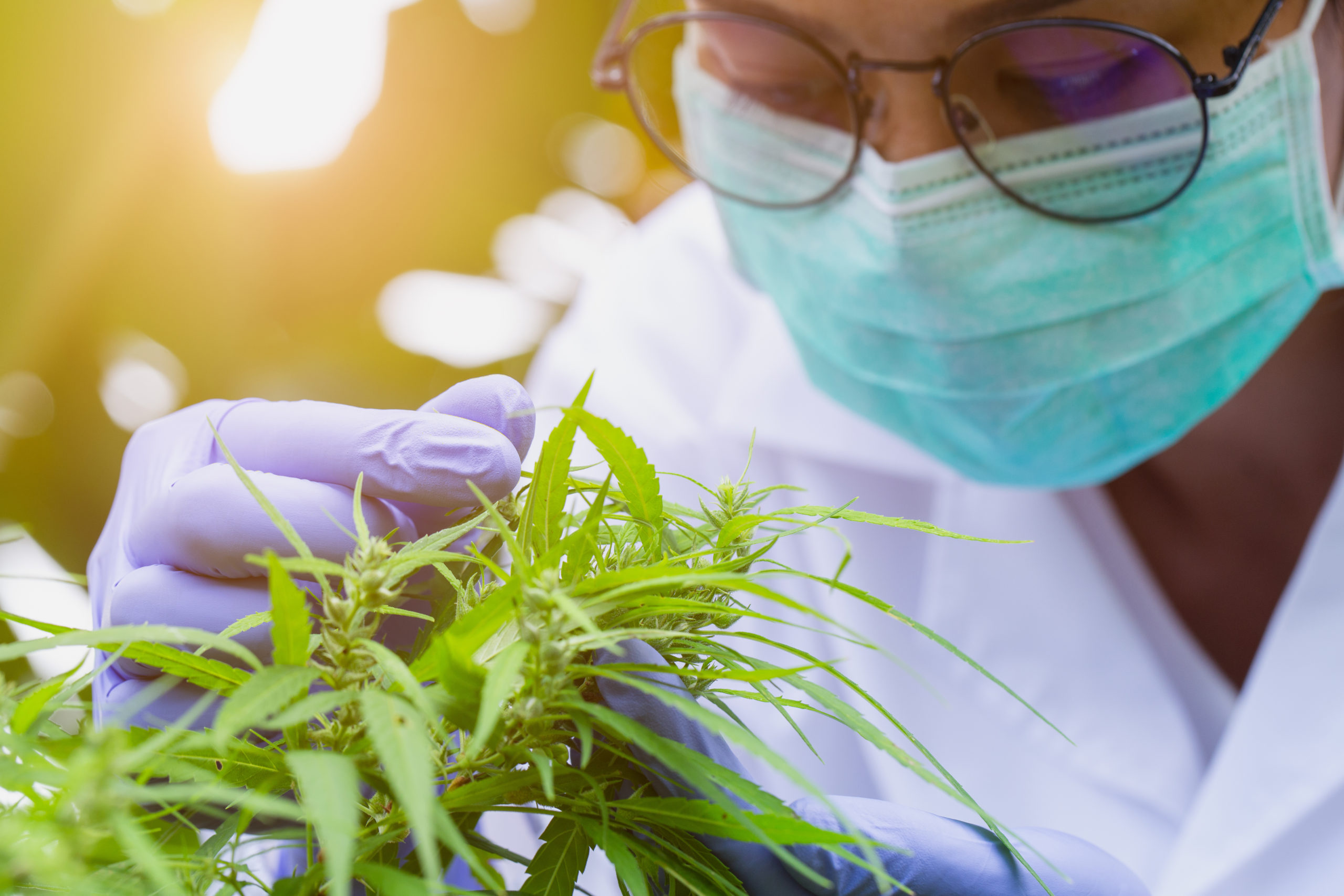 Cannabis Scientists Are Chasing the Perfect High.